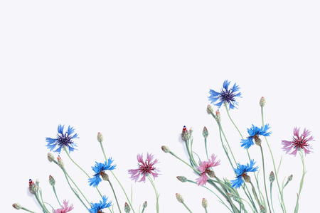 Photo for Wild flower cornflower isolated on white background - Royalty Free Image