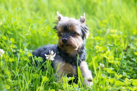 Foto de Yokshire Terrier for a walk in the grass. little dog. a pet . Sheared dog - Imagen libre de derechos