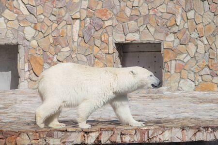 Photo pour Polar bear at the zoo. An animal in captivity. Northern Bear. Big mammal - image libre de droit