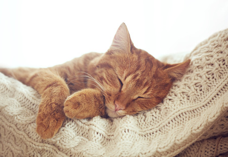 Photo for Cute ginger cat sleeps on warm knit sweater - Royalty Free Image