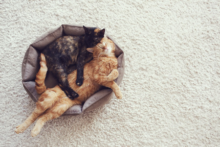 Photo for Couple cats sleep and hugging in their soft cozy bed on a floor carpet - Royalty Free Image