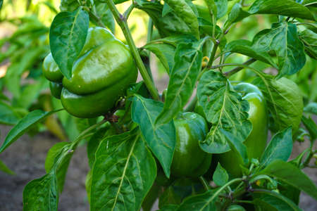Photo pour red and green peppers growing in the garden - image libre de droit