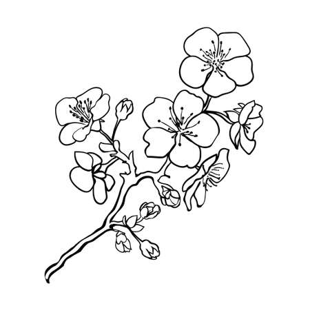 Sketch. Twig sakura blossoms . Vector illustration