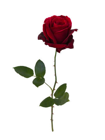 Photo for Dark red rose isolated on white background - Royalty Free Image