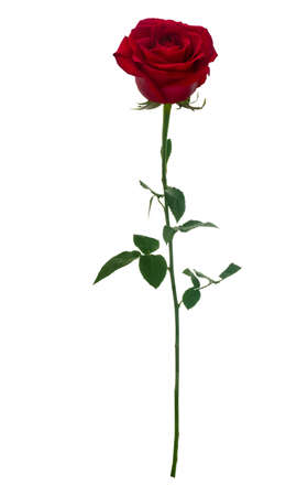 Photo pour Dark red rose isolated on white background - image libre de droit