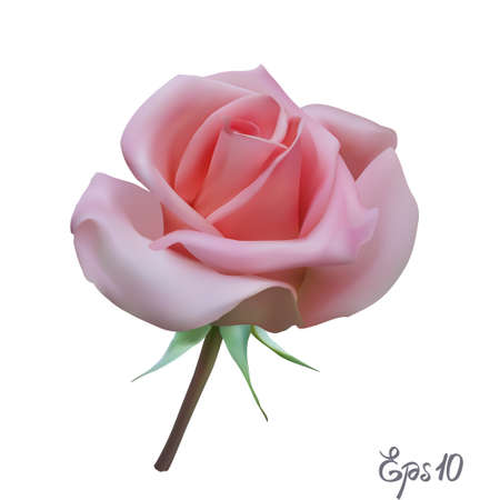 Ilustración de Pink Rose. Isolated Flower on a White Background. - Imagen libre de derechos