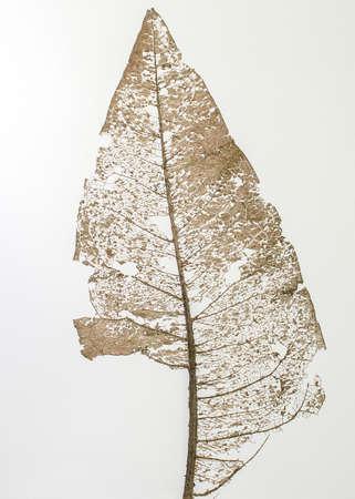 Photo pour Skeleton leaf of Wyethia mollis on white background - natural abstract art - image libre de droit