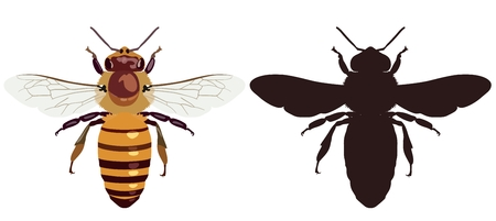 Illustration for Vector picture of an ordinary bee in color and its silhouette on a white background. View from above. Insect. - Royalty Free Image