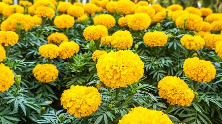 Foto de Beautiful Marigold flower in garden. - Imagen libre de derechos