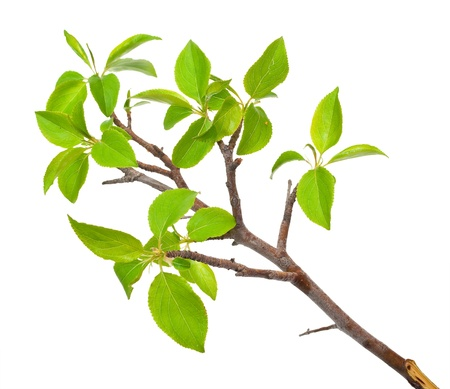 Photo pour Branch apple tree with spring buds isolated on white  - image libre de droit