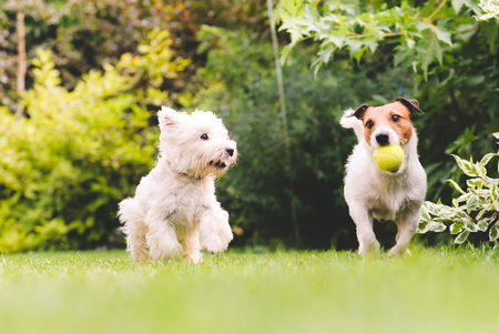 Photo pour Two cute and funny dogs playing with a ball - image libre de droit