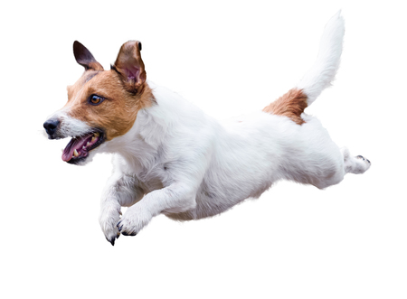 Photo pour Jack Russell Terrier dog running and jumping isolated on white - image libre de droit