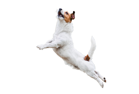 Photo pour Terrier dog isolated on white jumping and flying high - image libre de droit