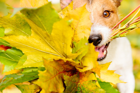 Photo pour Thanksgiving concept with a dog and an autumn maple leaves - image libre de droit
