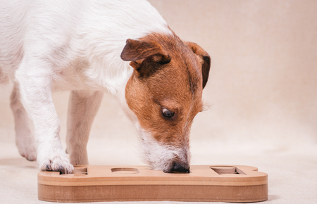 Photo for Dog playing sniffing puzzle game for nosework training - Royalty Free Image