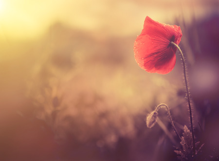 Photo for wild poppy flower - Royalty Free Image