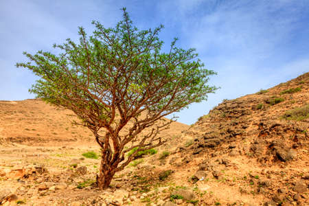 Photo for Frankincense tree growing in a desert near Salalah, Oman - Royalty Free Image