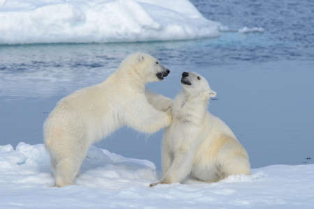 Photo for Two polar bear cubs playing together on the ice north of Svalbard - Royalty Free Image