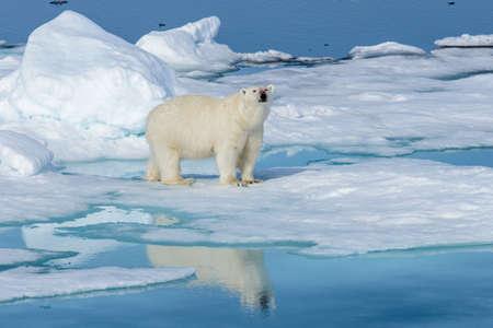 Photo pour Polar bear (Ursus maritimus) on the pack  ice north of Spitsbergen Island, Svalbard, Norway - image libre de droit