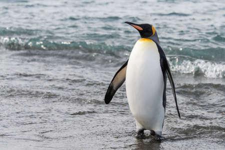 Photo pour King penguin on beach - image libre de droit