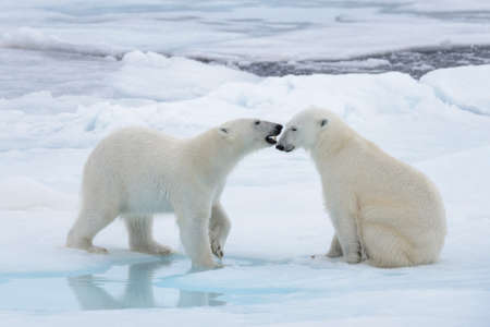 Photo pour Two young wild polar bears playing on pack ice in Arctic sea - image libre de droit
