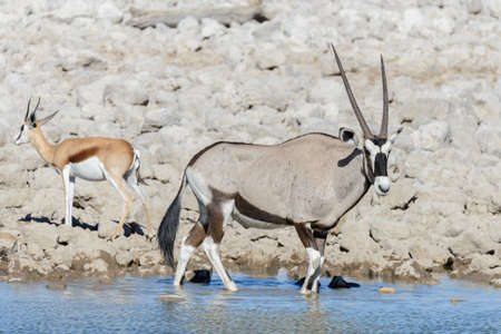 Photo for Wild oryx antelope in the African savannah - Royalty Free Image