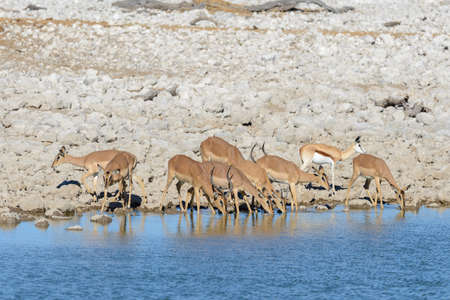 Photo for Wild springbok antelopes in the African savanna - Royalty Free Image