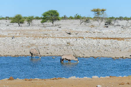 Photo for Wild kudu antelopes in the African savanna - Royalty Free Image