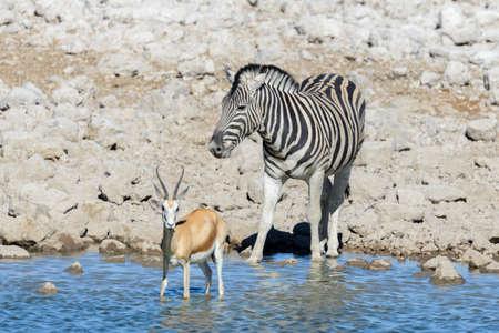 Photo for Wild african animals -gnu, kudu, orix, springbok, zebras drinking water in waterhole - Royalty Free Image