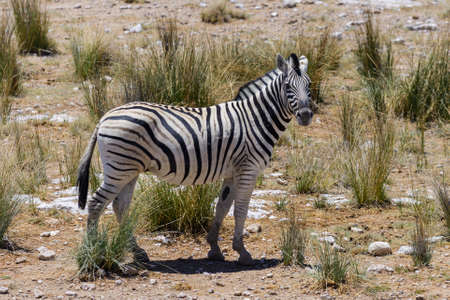 Photo for Wild zebra walking in the African savanna close up - Royalty Free Image