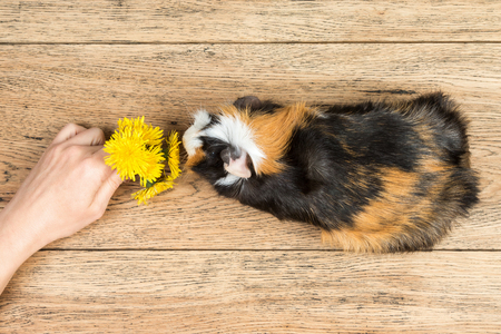 Female hand gives a bouquet of dandelions guinea pig, which stands on a wooden board, top view