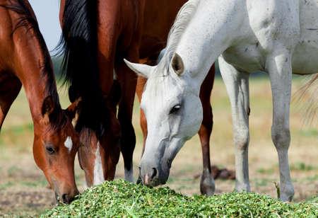 Arabian horses eat grass in field