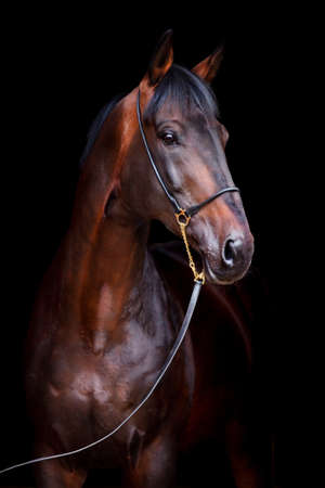 Photo for Brown horse portrait on black background  - Royalty Free Image