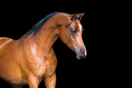Photo for Arabian horse isolated on black background - Royalty Free Image