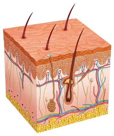Foto per Skin anatomy - Immagine Royalty Free