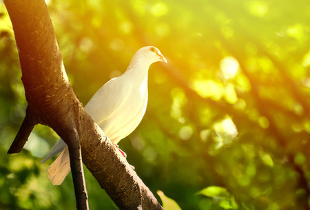Photo for Beautiful wite pigeon on branch - Royalty Free Image