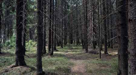 Photo for Pine forest. Depths of a forest. Journey through forest paths. T - Royalty Free Image