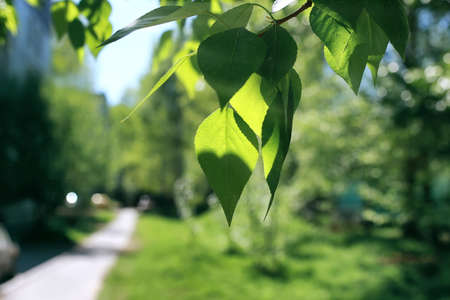 Photo for Fresh green leaves of trees on clear blue sky - Royalty Free Image
