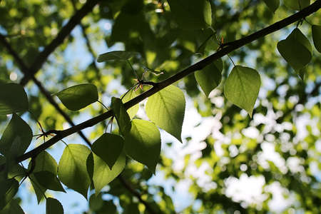 Photo for Green fresh leaves of trees on clear blue sky - Royalty Free Image