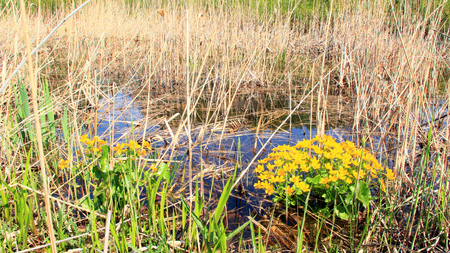 Photo for Caltha palustris growing in swamp. Spring flowers. Marsh Marigold flowers. Yellow flowers of Marsh Marigold. Flowering gold color plants in early spring by river during flooding - Royalty Free Image