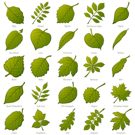 Illustration for Set of Green Leaves of Various Plants. - Royalty Free Image