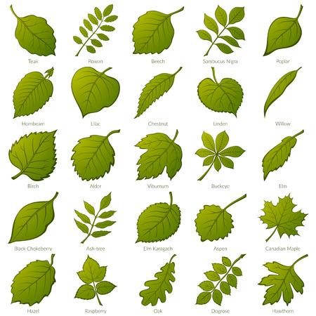 Illustration pour Set of Green Leaves of Various Plants. - image libre de droit