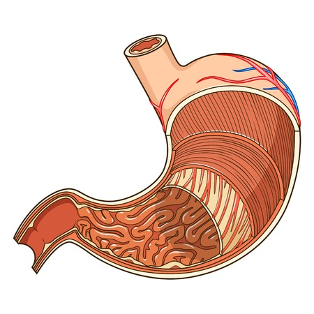 Illustration pour Structure of stomach medical educational vector illustration. Medicine science - image libre de droit