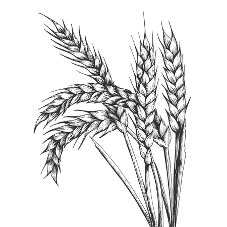 Illustration for Wheat ear spikelet engraving vector illustration. Scratch board style imitation. Black and white hand drawn image. - Royalty Free Image