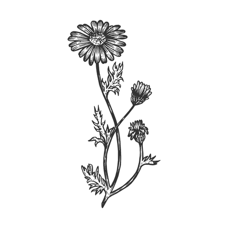 Illustration pour Officinalis chamomile medical plant sketch engraving vector illustration. Scratch board style imitation. Hand drawn image. - image libre de droit