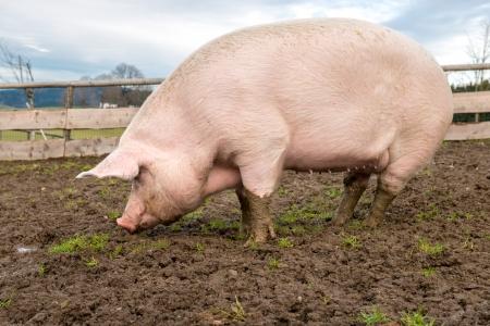 Photo pour Side view of a big pig on a farm - image libre de droit