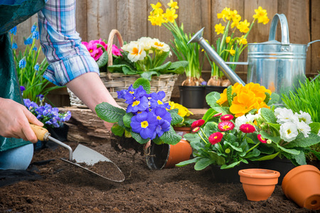 Foto de Gardeners hands planting flowers in pot with dirt or soil at back yard - Imagen libre de derechos