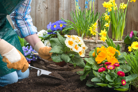 Photo for Gardeners hands planting flowers in pot with dirt or soil at back yard - Royalty Free Image