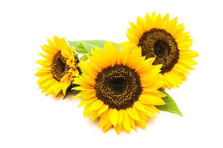 Foto de Yellow sunflowers isolated on the white background - Imagen libre de derechos