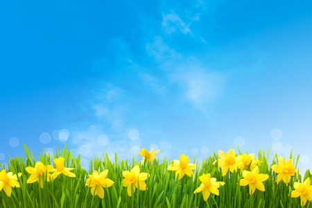 Photo for Spring narcissus flowers in green grass against sunny blue sky - Royalty Free Image